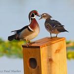 Wood Duck male and female house hunting (Aix sponsa)