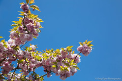 Sky blue sky (Will shoot for lenses) Tags: flowers trees green leaves us spring flickr april wa renton lightroom sammamish 2013 ef24105mmf4lisusm topazadjust topazdenoise canoneos5dmarkiii