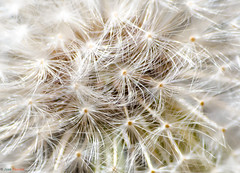 Macro Dandelion Seed Head (JosePasillas) Tags: light abstract blur closeup spring bright fuzzy flight engine engineering dandelion seeds fragile filament filaments flexible fragility d7000