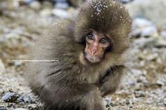 Be Wary |  (francisling) Tags: leica snow japan monkey minolta wildlife sony  onsen alpha 90mm nagano jigokudani   nex  yamanouchi    nex5n