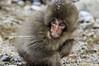 Be Wary | 意識し (francisling) Tags: leica snow japan monkey minolta wildlife sony 日本 onsen alpha 90mm nagano jigokudani 長野 温泉 nex 地獄谷 yamanouchi 野生生物 山内 雪猿 nex5n