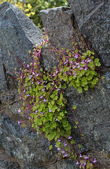 rock flowers (joybidge (back from vacation)) Tags: flowers flower springflowers victoriabc naturepatternscanada trishcanada tsapril202013