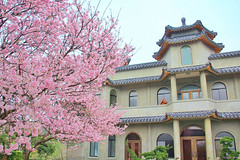 Temple (Singer ) Tags: pink sky plant flower tree architecture composition canon temple taiwan buddhism singer sakura cherryblossoms      buddhisttemple                     buddhistnun    singer186