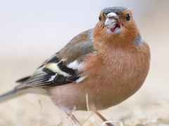 A mouthful (Fjllkantsbon) Tags: eating beak tasty hungry common chaffinch fringilla coelebs ter mouthfull hungrig bofink nbb smakar mumsbit