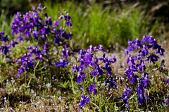 Larkspur (LabradorEars) Tags: blue purple idaho wildflower delphinium larkspur lochsariver collinsia clearwatercounty blueeyedmary collinsiaparviflora