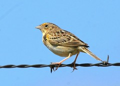 Grasshopper Sparrow (birding4ever) Tags: 5 ngc worldofbirds birdwatcher naturesfinest grasshoppersparrow ammodramussavannarum fieldguidebirdsoftheworld birdlovers spectacularanimals beautifulbirds avianphotography avianexcellence excellenceinavianphotography birdsphotos thefriendsofworldbirds adorablecritters theworldsbestnaturewildlifeandmacrophotography naturesspirit feathersbeaksbirds allbirdsallthetime damniwishidtakenthat birdinginthewild worldnatureandwildlifehalloffame fantasticwildlife worldnatureandwildlifegroup wildlifeaward wildlifecloseups naturebirdsandwildlife northamericannaturewildlifephotography feathersandbeaks avibase birdwatchinggroupbwg naturescarousel birdperfect naturesgoldencarousel naturallywonderful hennysanimalkingdom thebestofwildlifenature flickrbirdbrigade prestigenature amazingwildlifephotography bestbirdphotography thenaturesbestwildlifegroup defenders{nature}macroandcloseup betterbirdphotography dmslair thesunshinegroup sunrays5 ourwonderfulandfragileworld sjohnsonsfaunahighqualityimagesonly