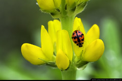 Ladybug on Yellow Lupine (olvwu | ) Tags: flower macro field yellow bug insect countryside taiwan ladybug ilan fabaceae yilan  lupin lupine dongshan  lupinus coccinellidae  jungpangwu oliverwu oliverjpwu ilancounty cheilomenessexmaculata  olvwu yilancounty jungpang perenniallupine dongshantownship