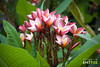 Chafa Flower (Amit Pise (अमित पिसे)) Tags: flower plumeria champa chafa