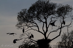 Nature in silhouette (Fastsky) Tags: sky tree nature animals silhouette flight natura volo cielo albero animali grasshoper cicogna