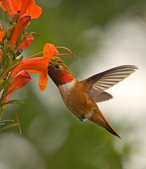 RUFOUS (sea25bill) Tags: california morning red food bird nature spring rufoushummingbird capehoneysuckle
