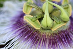 Passiflora (Idiot4Hire) Tags: white flower macro green nature fruit flora purple vine passion balance bone bulbous passiflora pollen thin passionfruit reproduce fertile