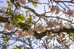 Blossoms (Diego Almazn) Tags: ireland nature cherryblossoms