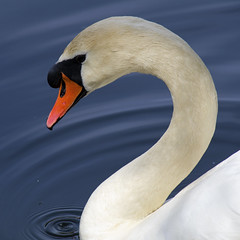 Serene Swan DSC8214.Explored (iloleo) Tags: toronto bird nature beauty swan highpark wildlife avianexcellence nikond7000