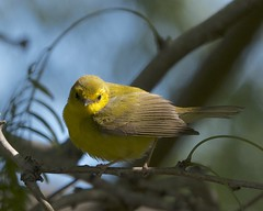 Hooded Warbler (Mikael Behrens) Tags: bird texas wildlife warbler portaransas birdingcenter