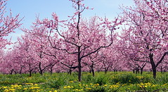 peach blossom (haunted snowfort) Tags: pink flowers trees ontario spring blossom peach orchard niagara peachblossom beamsville 2013 greenlaneroad