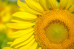 sunflower field (Saran Pramoonphong) Tags: blue summer portrait sky food sun sunlight plant flower green nature field yellow closeup clouds rural season landscape one countryside photo leaf big day close bright many vibrant background country grain harvest scenic seed sunny nobody clear single crop sunflower agriculture stalk ripe