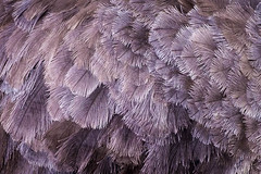 Feathers (johannekekroesbergen) Tags: orange purple feathers structure ostrich