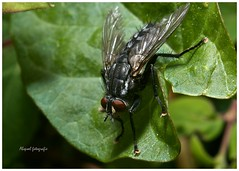 Fly on a leaf (iAppleToo) Tags: nikon flash 28mm tubes bracket extension nikkor ais manfrotto kenko sb400 borderfx d7000