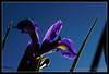 lirio (Uxio G.) Tags: blue flower azul canon peace lily flor paz bluesky cielo lirio tranquilidad cieloazul niceflower florbonita eos600d canoneos600d liriovioleta