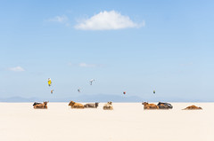 Tarifa Beach, Spain (www.andrewlever.com) Tags: travel summer sky color beach nature animals clouds landscape fun spain funny comedy humorous cows fineart humor andalucia kitesurfing spanish mammals sunbathing tarifa