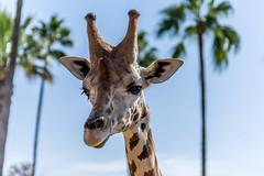 San Diego Trip 2014-11 (Allan Bromberg_Grand Oak Photography) Tags: california animal lens sandiego safari giraffe tamron canon5dmarkiii