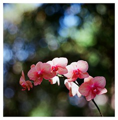 Orchid (smadalin2012) Tags: flowers orchid 6x6 film mediumformat ross kodak bokeh hsinchu taiwan hasselblad scanned f4 ektar 5inch hasselblad203fe militarylens