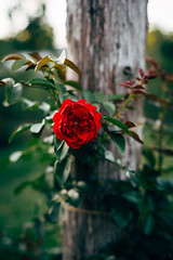Single Rose (Gabriel Mirasol) Tags: nikon d600 50mm 18 ais nikkor fx prime flower vsco