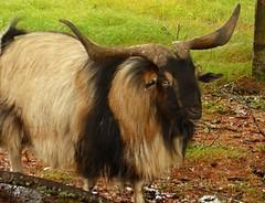 San Clemente Island Goat   --   L1030770 (mshnaya) Tags: san clemente island goat california new england south coast nature narragansett fauna animal herbivore long hair horn