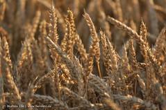 Wheat field (_dermatz) Tags: wheat pflanze weizen weizenfeld