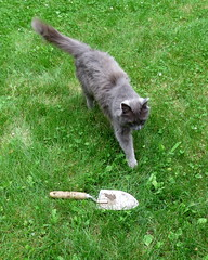 Gardening (diffuse) Tags: trowel spade shovel cat kitty lawn backyard odc spayed