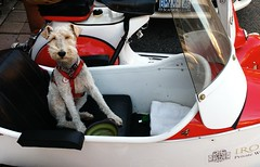 King of the Road (Georgie_grrl) Tags: dog poochie canine pet cute sweet rider sidecar scooter modsandrockers2016 motorcycles scooters chrome social community friends bikes bikers riders scooterists molly