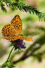 Kaisermantel (rooibusch) Tags: schweiz tagfalter butterfly fritillary kaisermantel jura edelfalter
