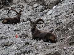 ibexes sitting on the trail (genelabo) Tags: heilbronner höhenweg mädelegabel rappenseehütte oberstdorf alpen mountains berge steinböcke steinbock ibex capricorn kemptner hütte alps biwak outdoor hiking murmeltier marmot bouquetin