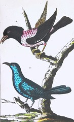 """Red-Breasted Blackbird and Bluebird from """"The Natural History of Birds"""" by Count de Buffon. Volume 9: """"Exotic Birds."""" 1790 German edition (lhboudreau) Tags: vintage book books hardcover hardcovers hardcoverbook hardcoverbooks illustratedbook illustratedbooks bookart illustration illustrations drawing drawings engraving engravings etching etchings lithograph lithography print prints coloredprint coloredprints handcolored handcoloredprints handcoloredlithography handcolor 18thcentury eighteenthcentury lithographs classicillustration art artprint artprints antique antiquarian coloredengraving coloredengravings ninthvolume handcoloredengraving handcoloredengravings buffon countbuffon thenaturalhistoryofbirds contedebuffon buffonsnaturalhistoryofbirds birds ornithology exoticbirds 1790 germanedition vienna volume9 naturalhistoryofbirds naturalhistory blackbird bird bluebird redbreastedblackbird comtedebuffon leclerc georgeslouisleclerc naturalist histoirenaturelle"""