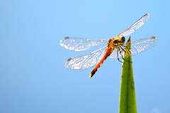Red, Blue & Green (michel1276) Tags: libelle heidelibelle heubachniederung dragonfly insect blue blau earthnaturelife insekt