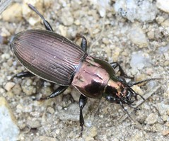 Poecilus lepidus carabidae (BSCG (Badenoch and Strathspey Conservation Group)) Tags: gos