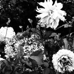 a slight change.... (bunchadogs & susan [mostly off]) Tags: summer autumn dahlias hydrangeas iphone provokecameraapp fortunacalifornia