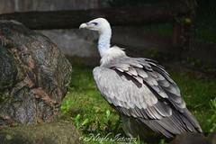 Geier (n.intveen) Tags: geier vulture