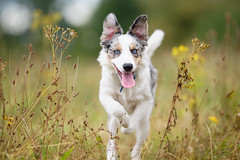 'Jumping Jack' (Jonathan Casey) Tags: dog jumping border collie puupy blue eyes nikon 200mm f2 vr d810