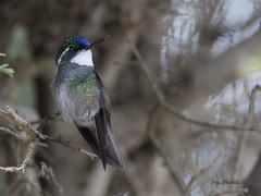 White-throated Mountain-gem (Jorge Chinchilla A.) Tags: whitethroated mountaingem jorgechinchilla photography costarica birds hummingbird