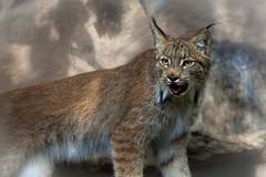 lynx (jimmy_racoon) Tags: 70200 f4l is canon 5d mk2 cats feline lynx nature 70200f4lis canon5dmk2