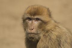 Berberaap - Ouwehands (Jan de Neijs Photography) Tags: berberaap berber aap ouwehands ouwehandsdierenpark dierentuin zoo tamron tamron150600 rhenen