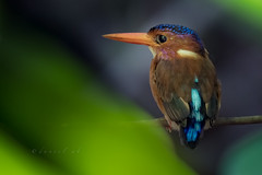 The Little Gem of Tangkoko Forest (daniel ab 2007) Tags: red kingfisher dwarf tangkoko northsulawesi sulawesi indonesia dwarfkingfisher sulawesidwarfkingfisher forest jungle