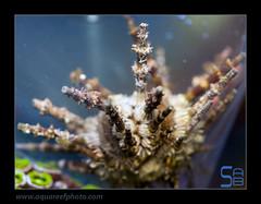 STEPstylocidaris-affinis-oursinlance0551_170214 (kactusficus) Tags: reef aquarium trade marine oursin urchin lance affinis stylocidaris