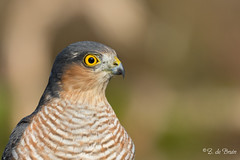 2016-09-15-0482 (BZD1) Tags: animal aves accipitriformes accipitridae accipiter accipiternisus sparrowhawk bird hbnfotohut