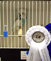 Best Opposite Sex Young Bird 139-2 G Carter (Brother G) Tags: hastings budgerigar society open show 2016