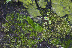 naturetexture3 (rcipfw) Tags: nature plantlife moss northmachester indiana texture green