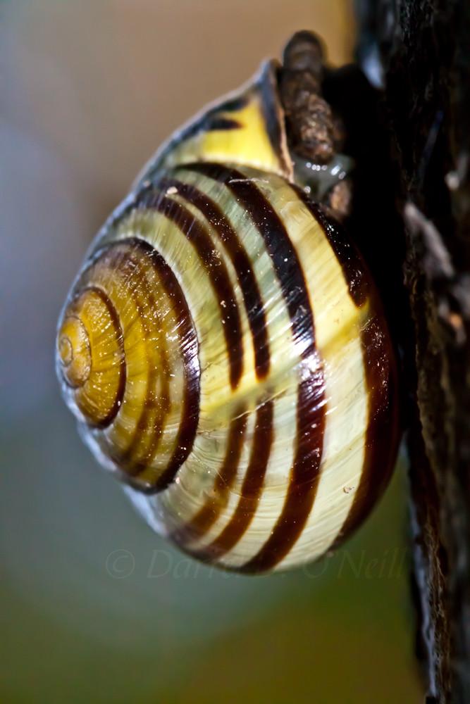 cone shell striped