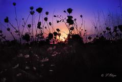 Atardecer con Tanit .(Mallorca)---Sunset with Tanit. Para Helena de Riquer . (frankolayag) Tags: atardeceres naturaleza mallorca sasorda espaa colores tanit dioses frankolaya islasbaleares arte pentax airelibre ocaso cielos azul magenta naranja siluetas