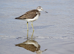 Greenshank (35NW3) Tags: